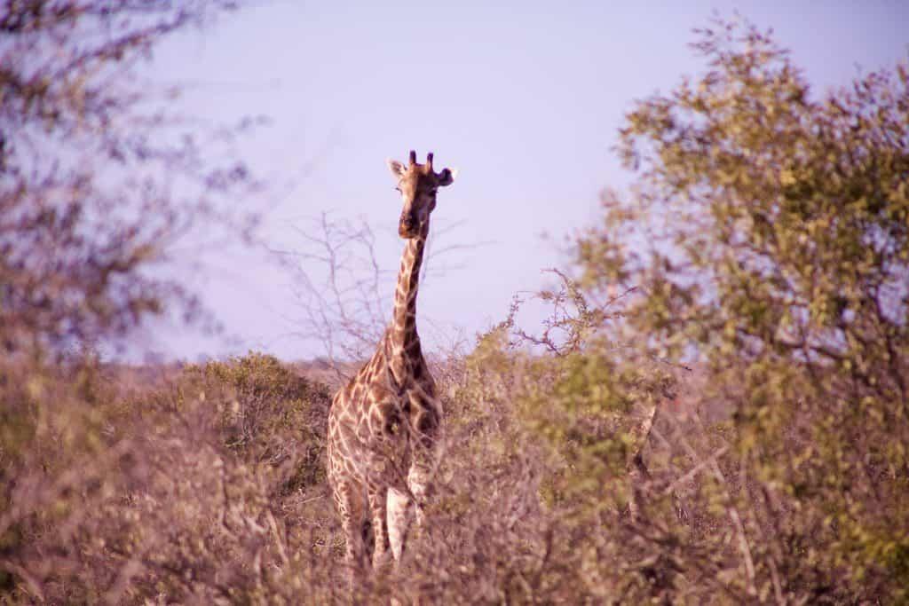 Giraffe Kruger Park Guide Self Drive