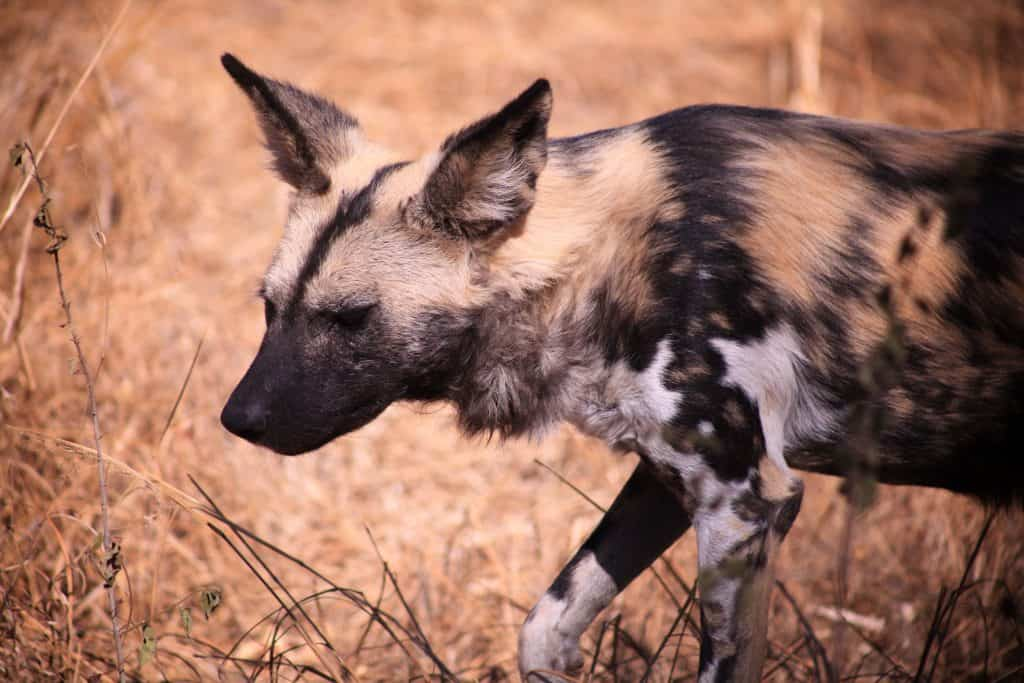 African Wild Dog, guide to kruger park safari