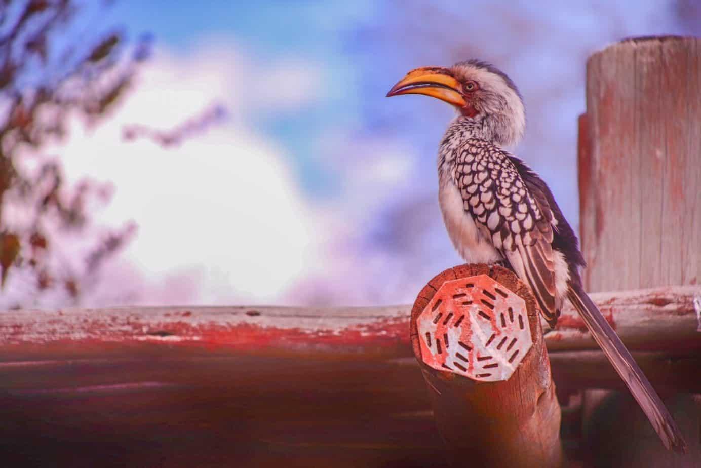 Hornbill Kruger Park Guide