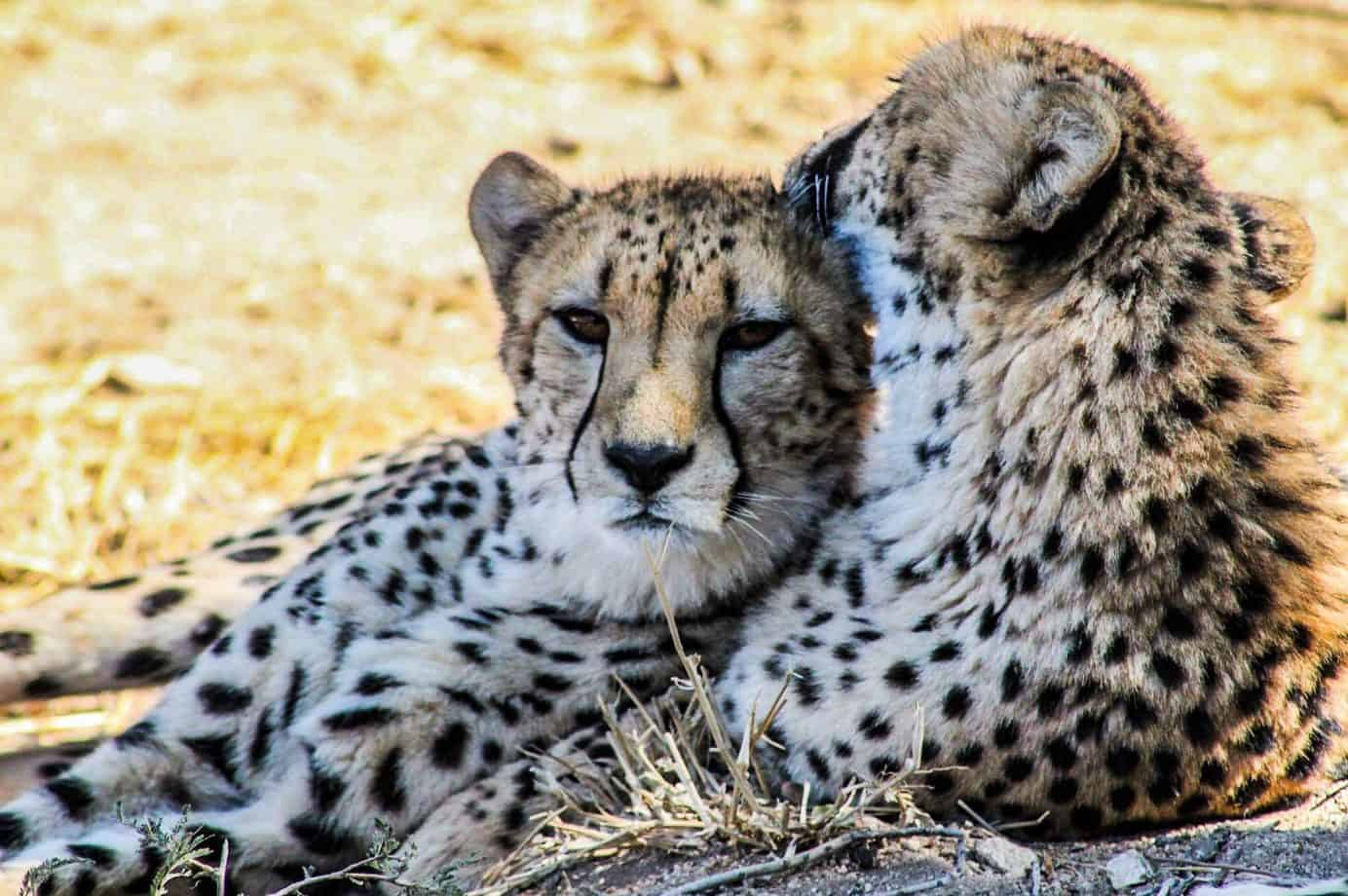 Beautiful Cheetahs in South Africa
