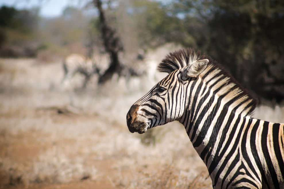 Playing Around With the Zebras in South Africa