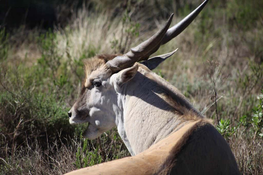 Eland at gondwana game reserve