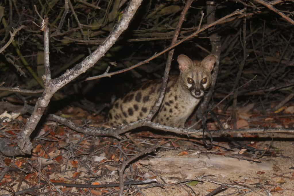 The Genet at Night
