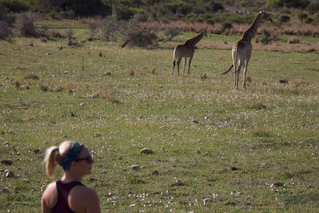 Giraffe Time at Gondwana