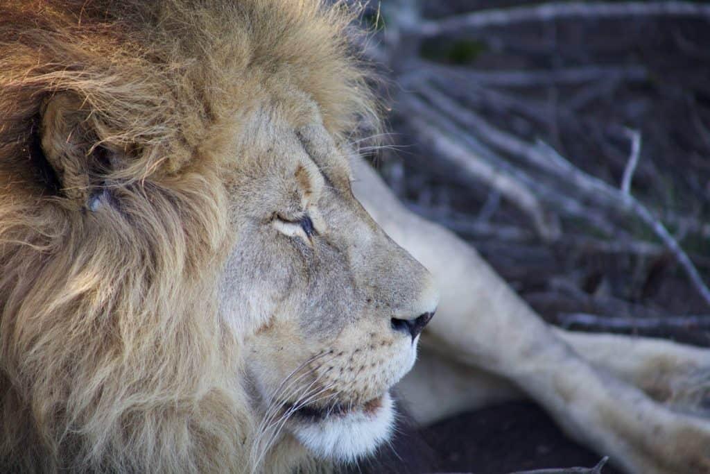 Lion Roar at Gondwana