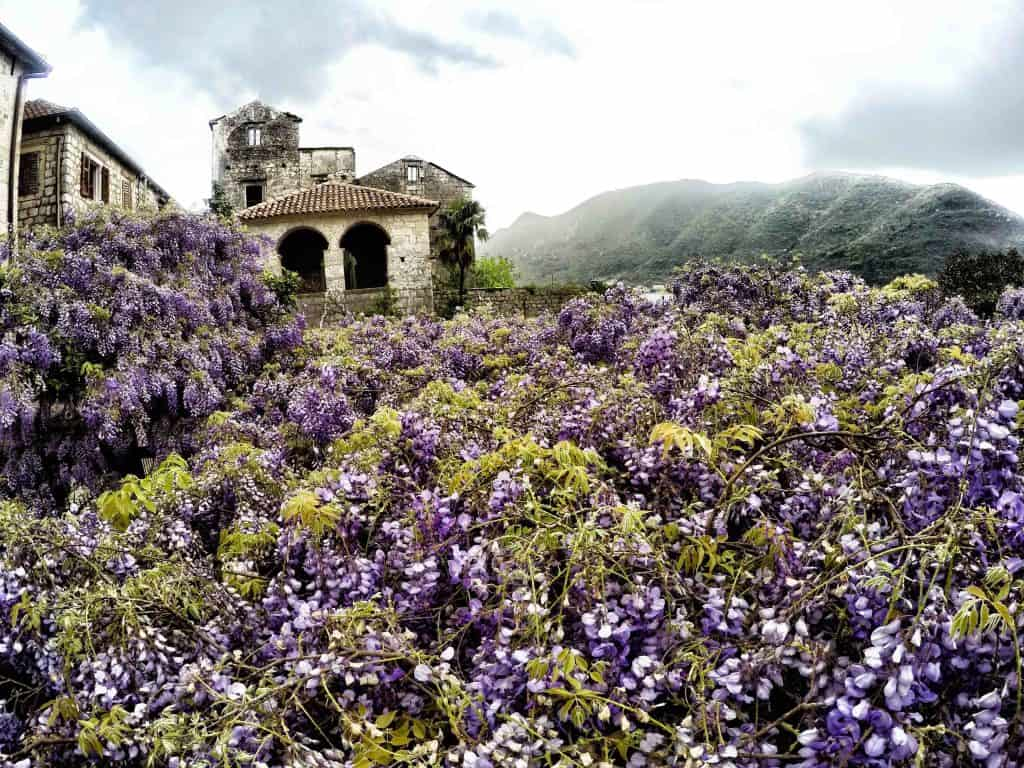 The purple wisteria in Perast