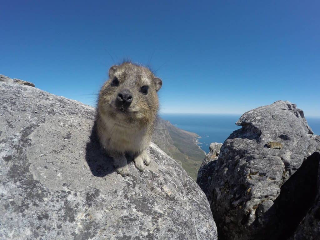 Rock Hyrax in Cape Town