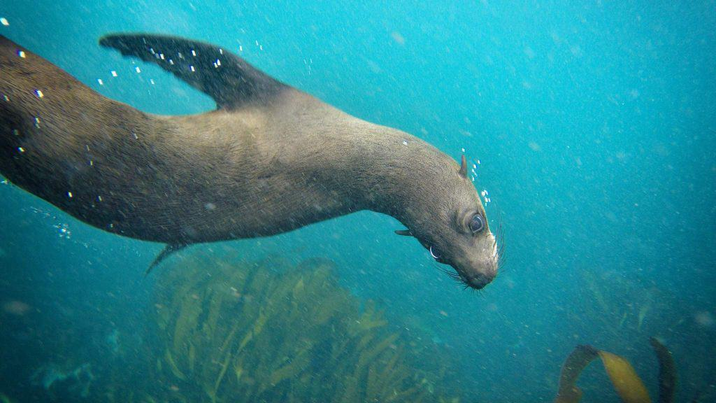 Seal Snorkeling in Cape Town
