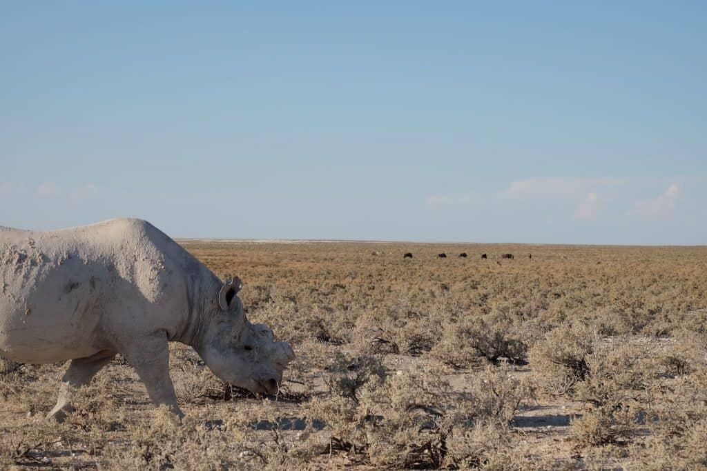 White Rhino Namibia