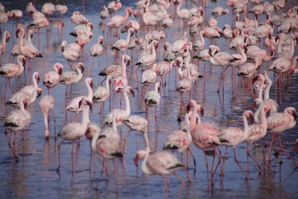Flamingos WAlvis Bay