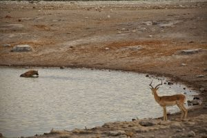 Hyena Bath Time Etosha National Park