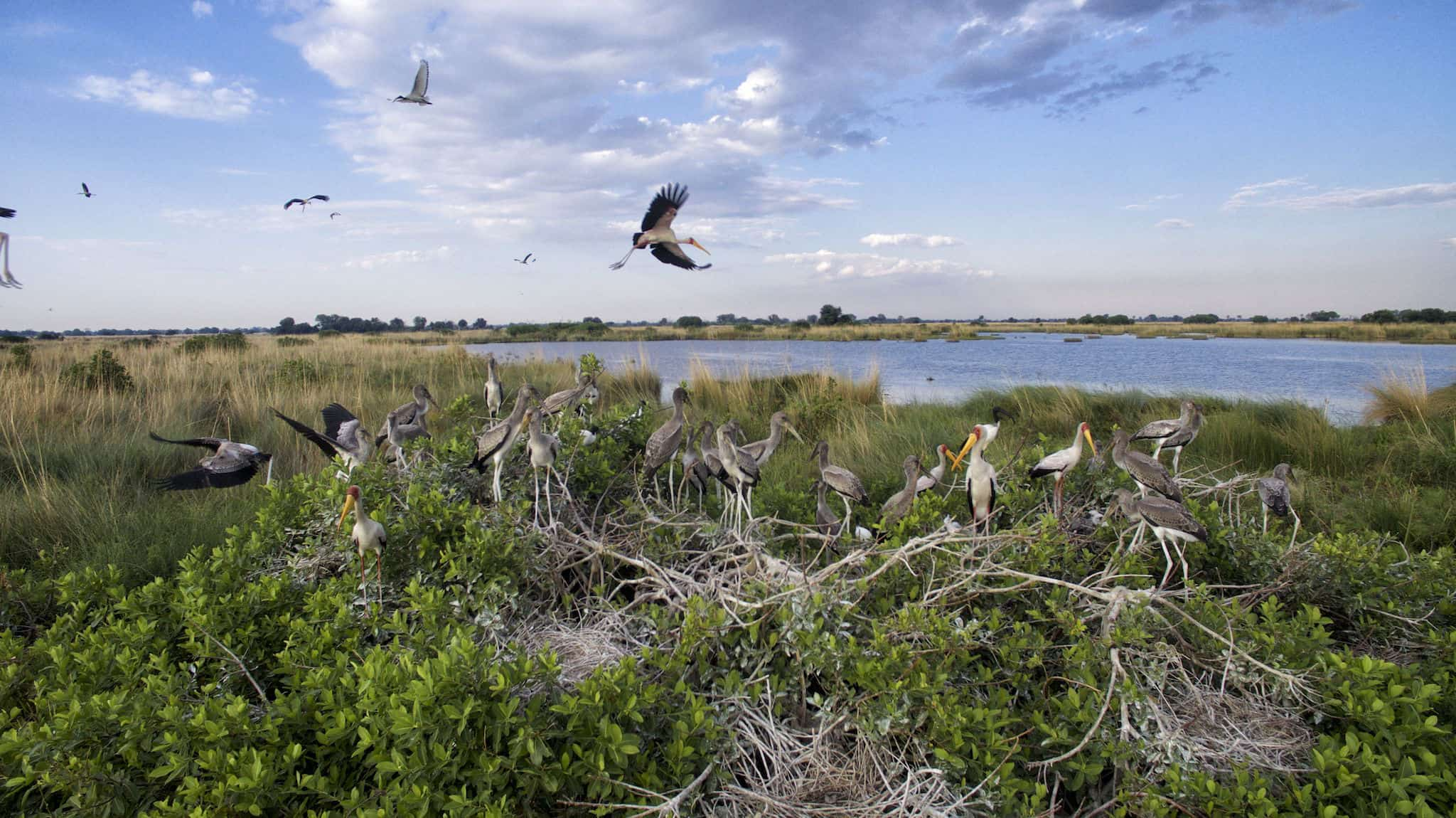 Heronry in the Okavango Delta