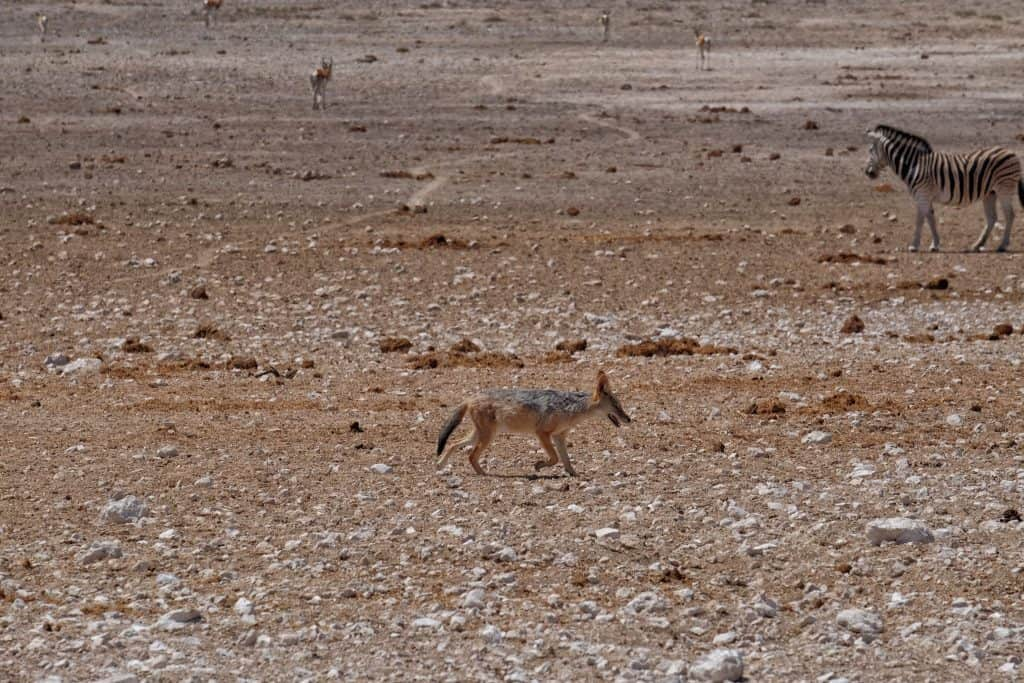 Black Backed Jackal Etosha National Park