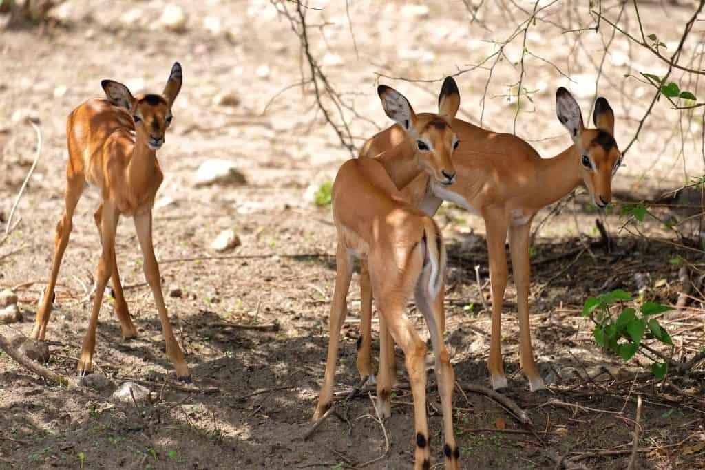 Baby Impala on Chobe River
