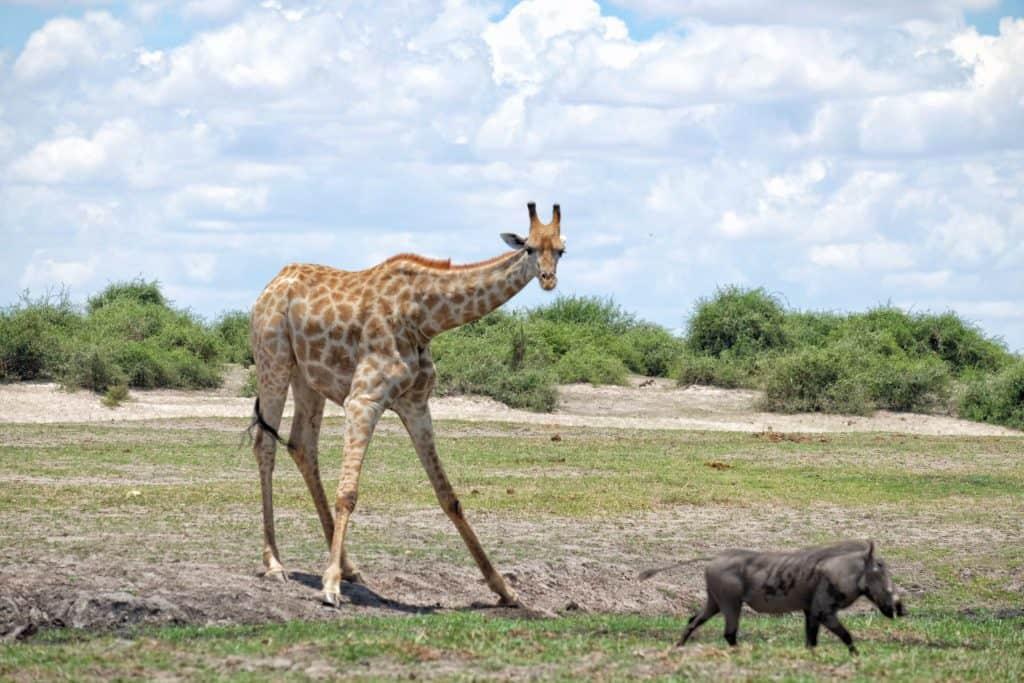 Giraffe along the Chobe