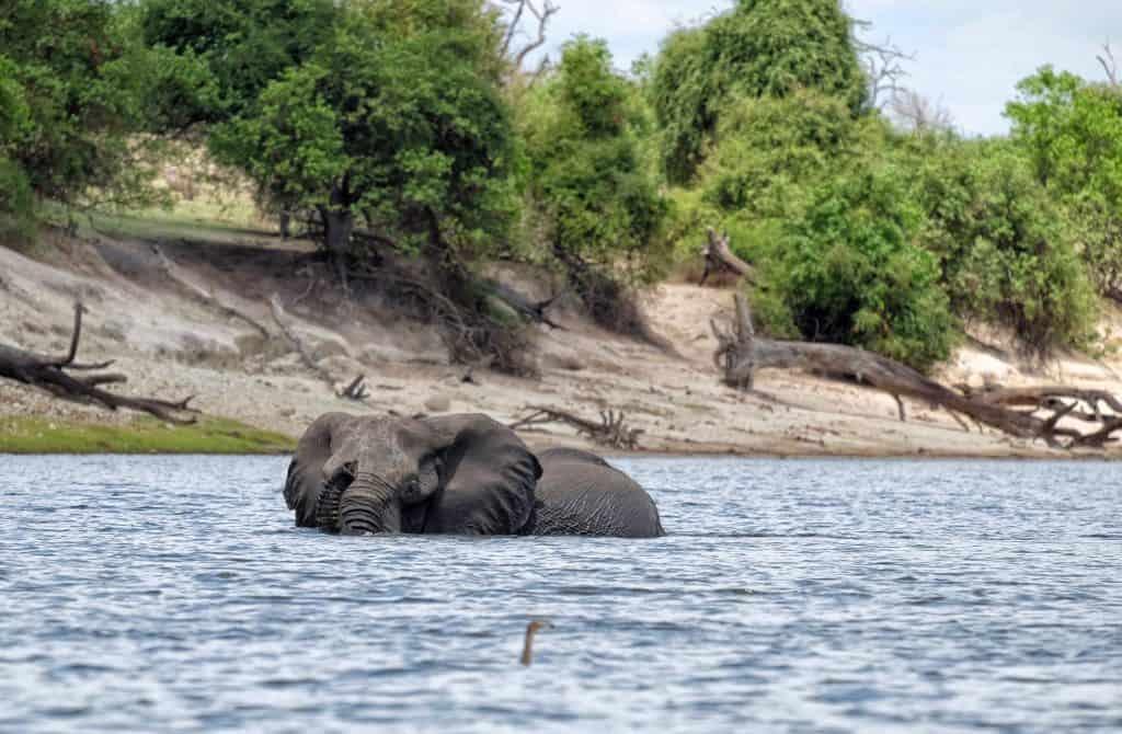 elephant chobe river princess