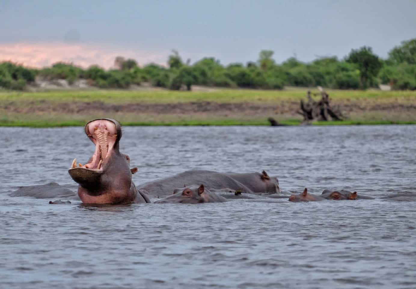 Hippo Party on the Chobe River