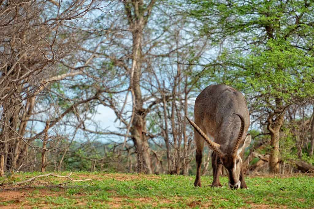 Waterbuck in Zimbabwe while traveling