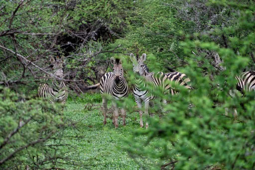 Zebra near Victoria Falls
