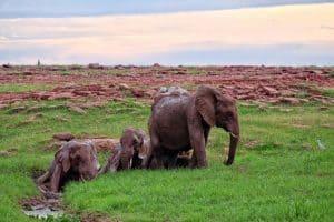 Elephants Bathing In Zimbabwe