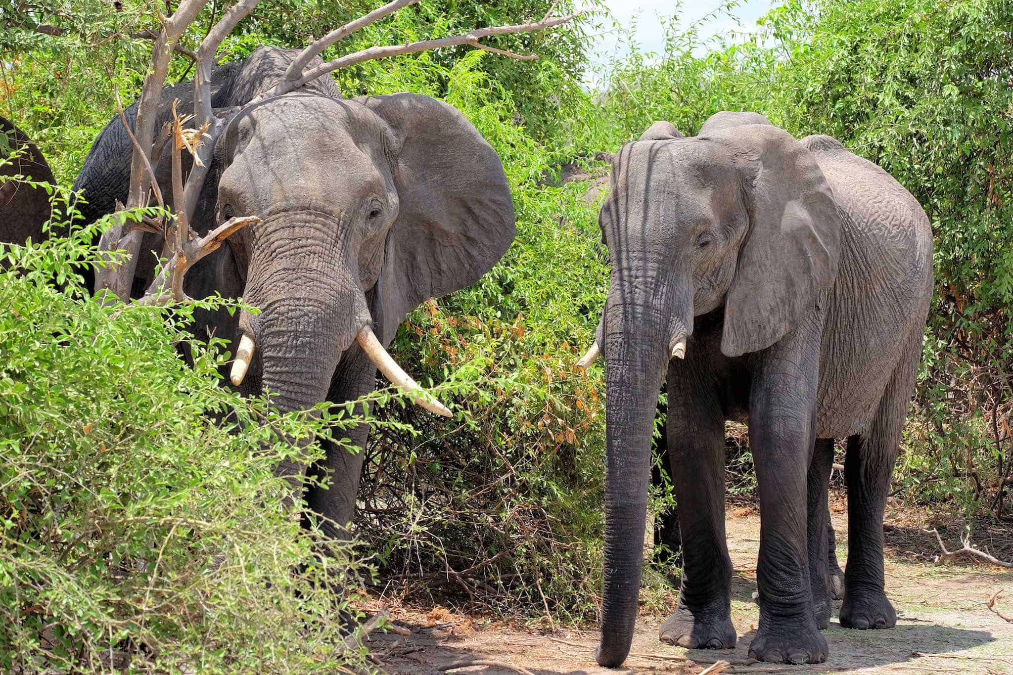 elephants-in-chobe national park