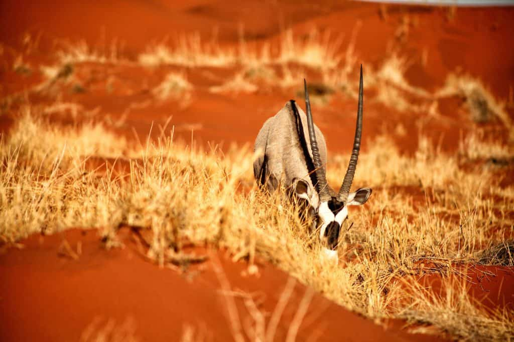 Oryx Kalahari Red Sand