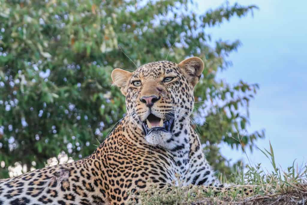 Big Five Animal Leopard