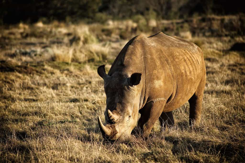 Big Five Animals Rhino