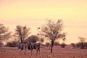 Eland_Kalahari