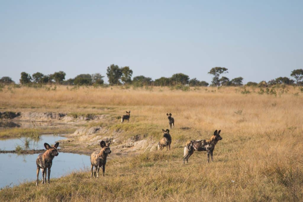 Hwange National Park African Wild Dogs