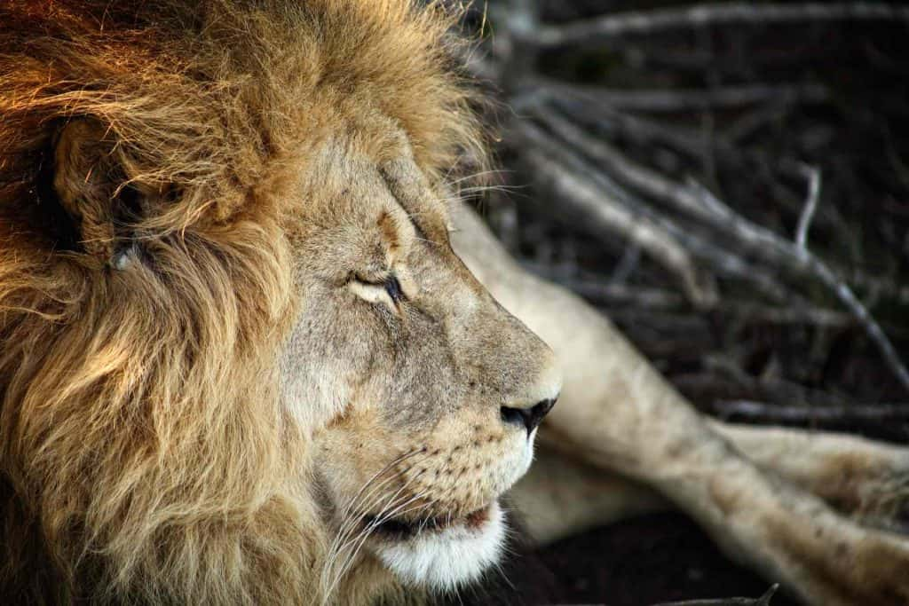 Big Five Animals African Lion