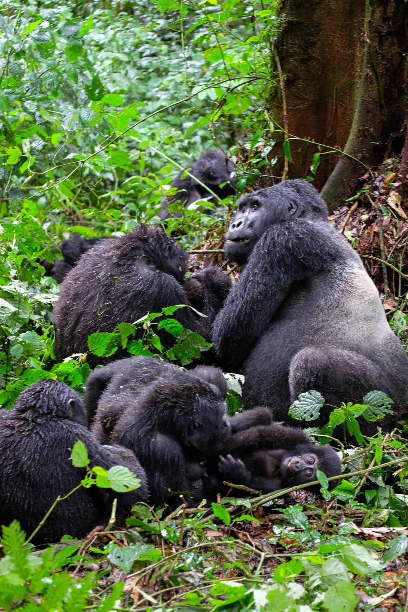 Where to go Gorilla trekking