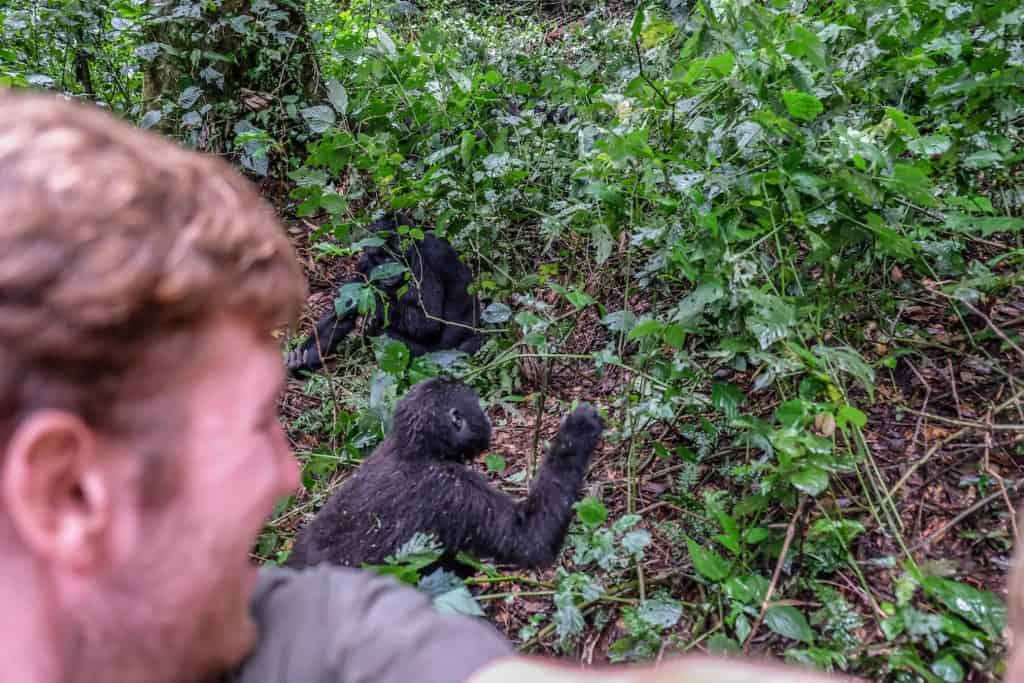 Trekking for gorillas