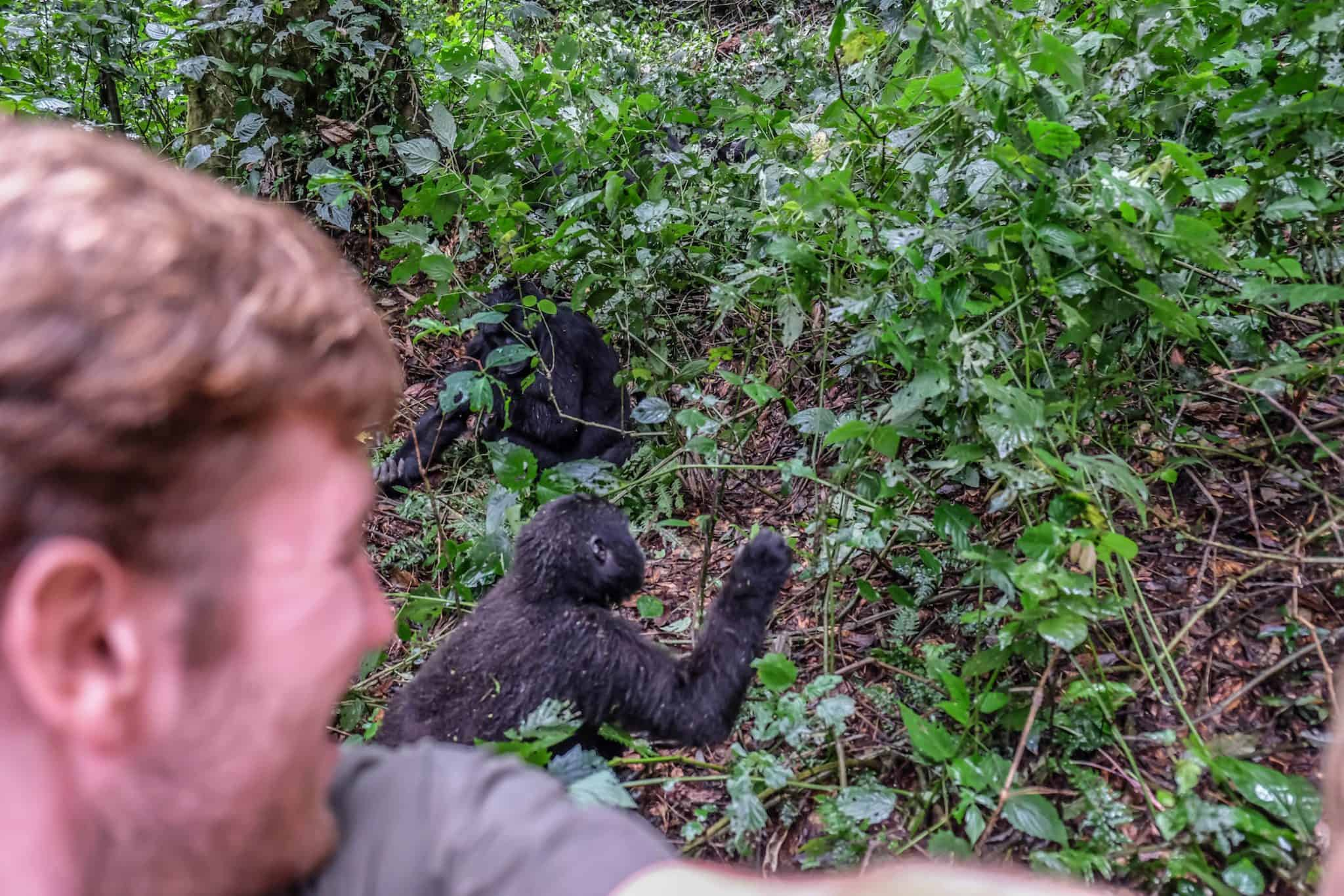 Trekking for gorillas