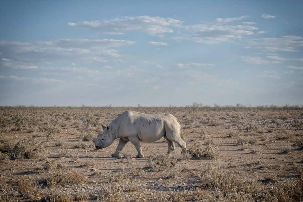 Etosha National Park Rhino