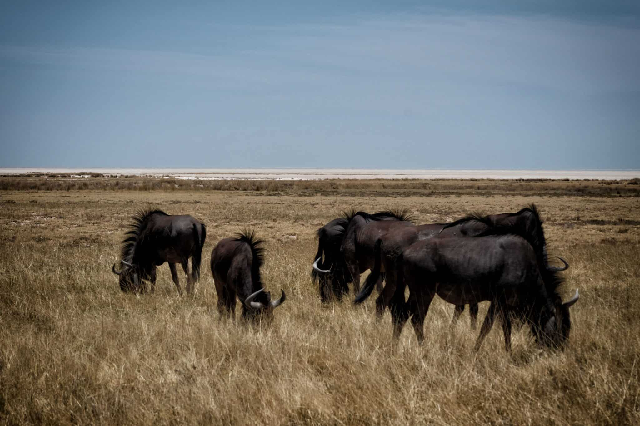 Etosha National Park Wildebeest