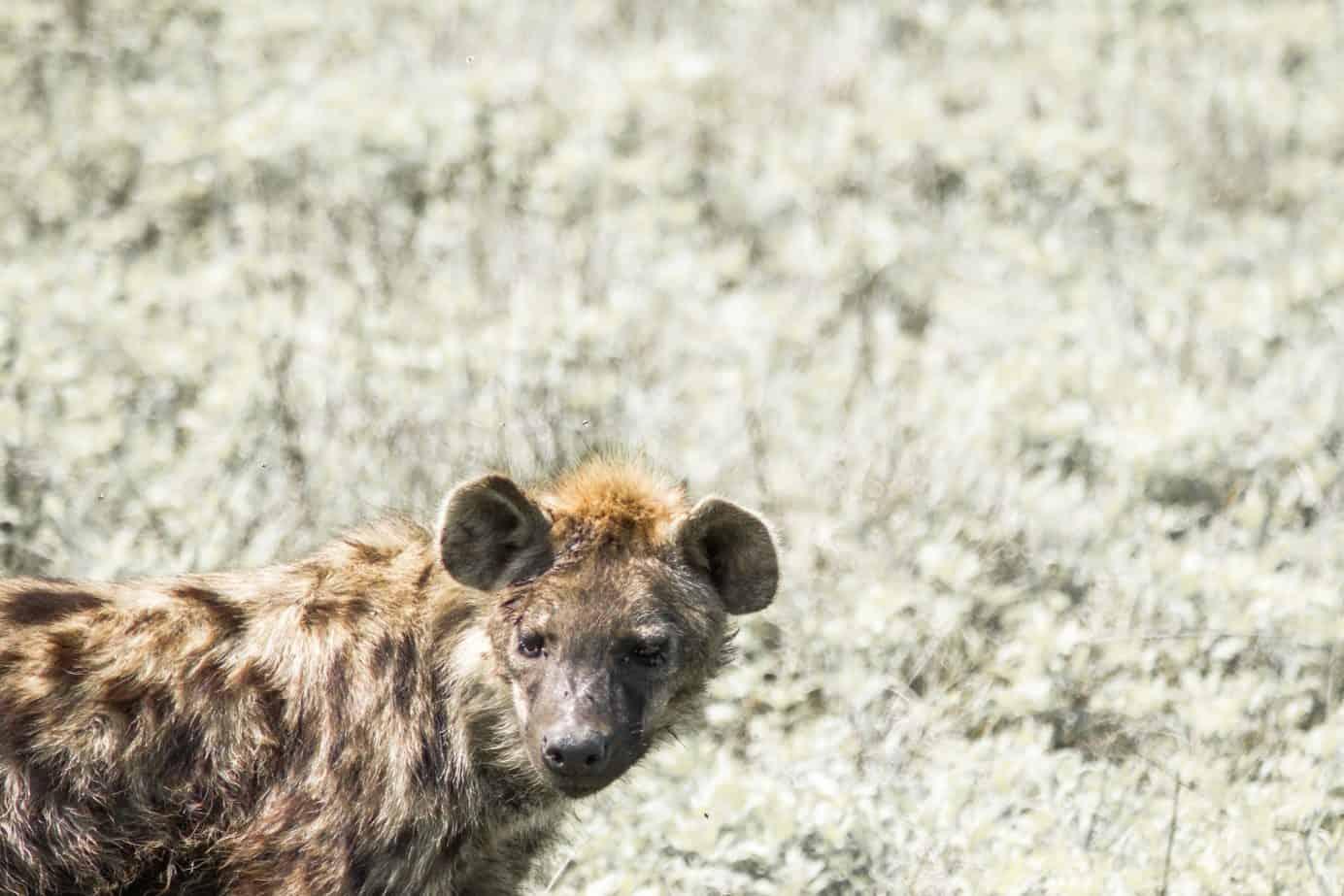 Hyena in the Ngorongoro Crater