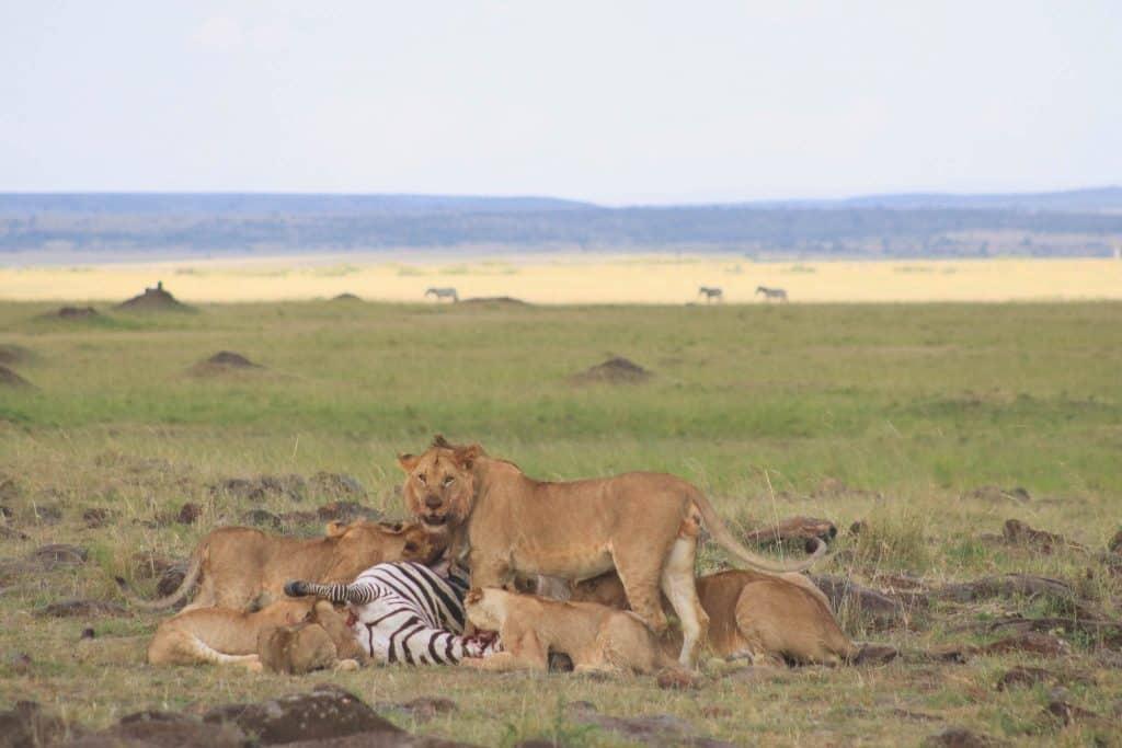 Best Camera For Safari Lions