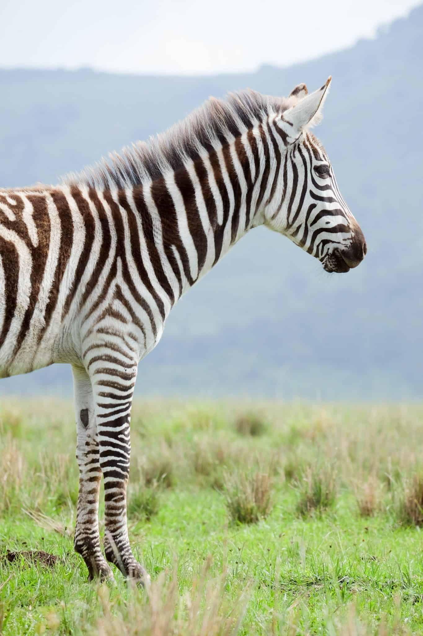 A Zebra in Tanzania