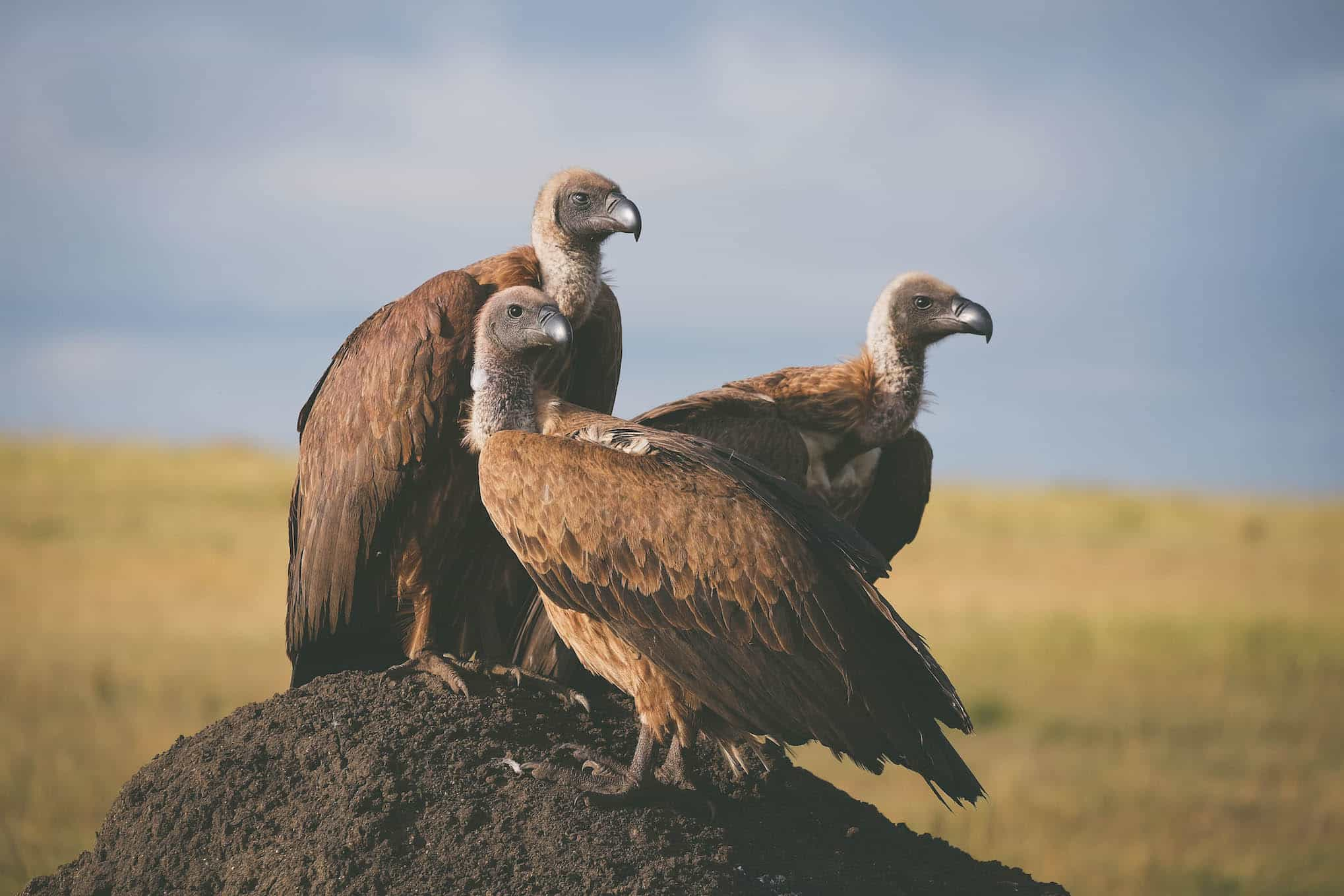 Vultures in the Masai Mara