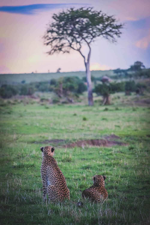 Cheetah Cottars Masai Mara