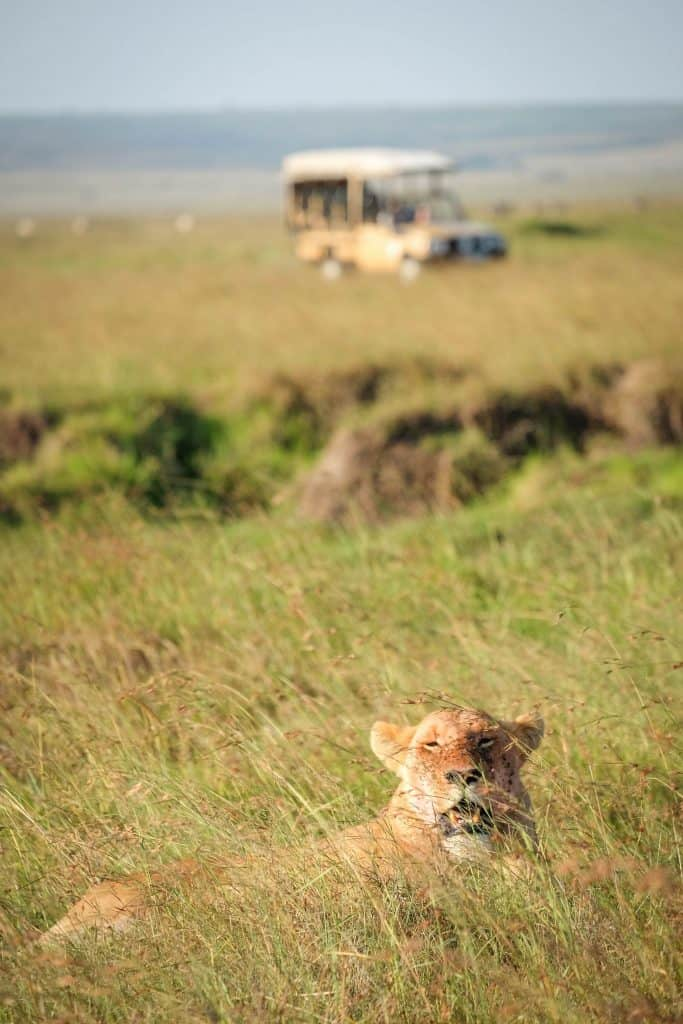 Lion in the Mara