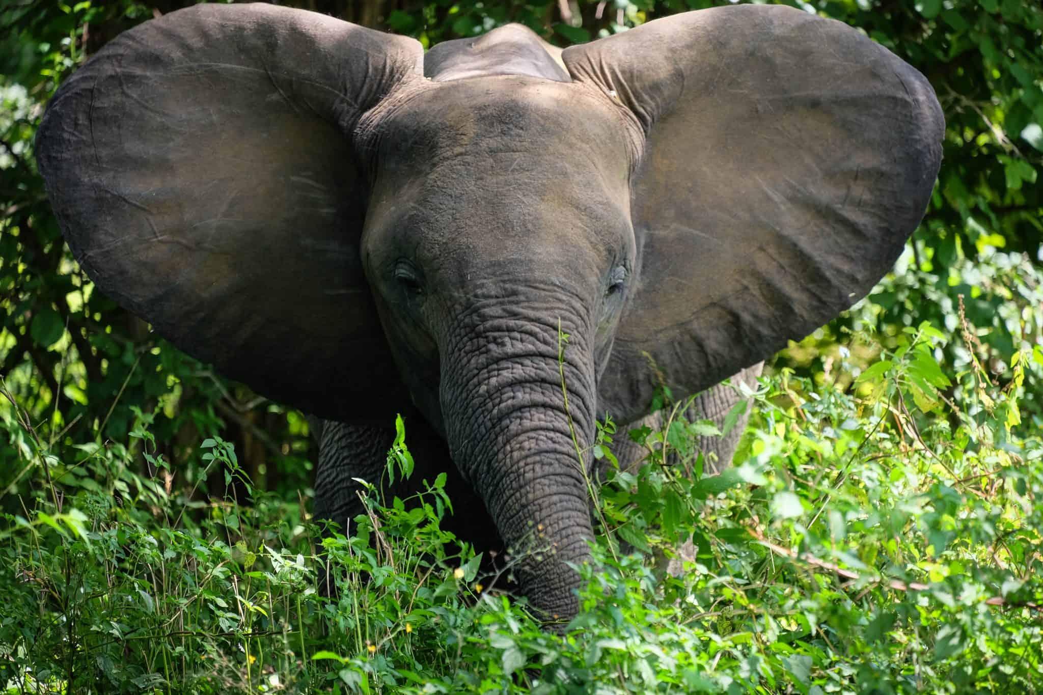 Elephant South Luangwa