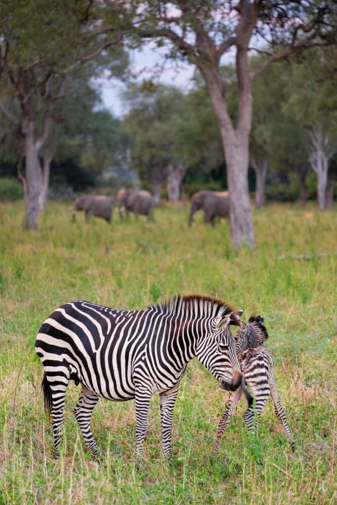 Birth Of Zebra In South Luangwa