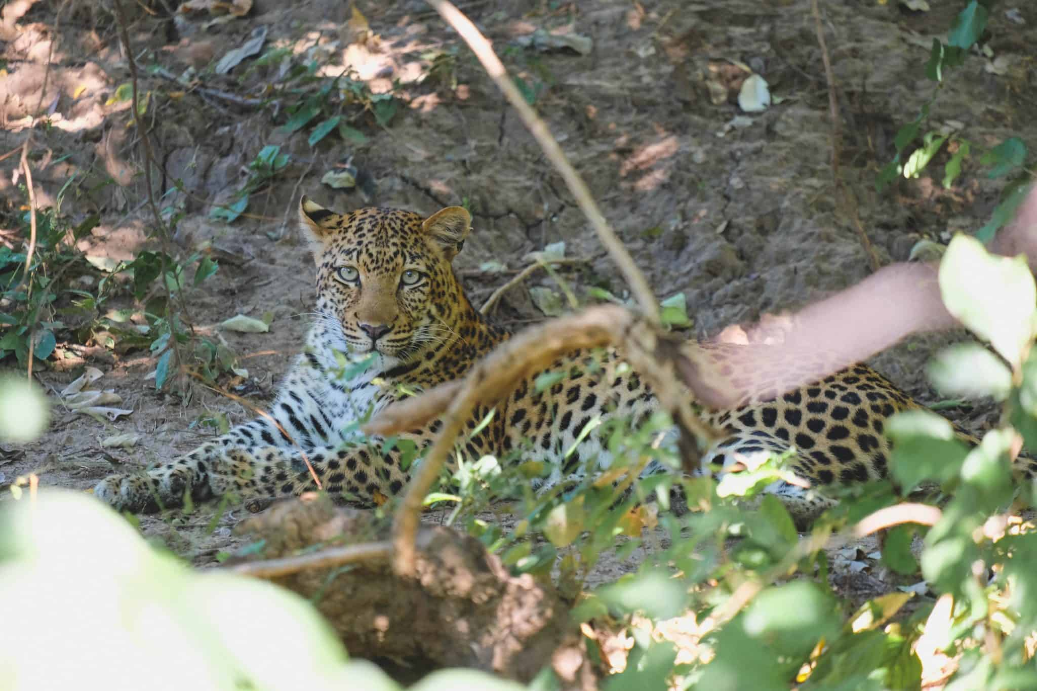 Mana Pools Leopard