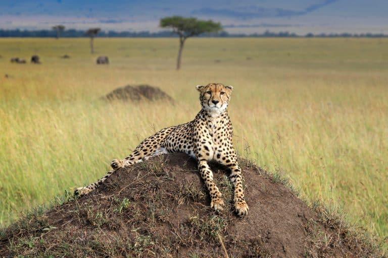 Cheetahs in the Masai Mara