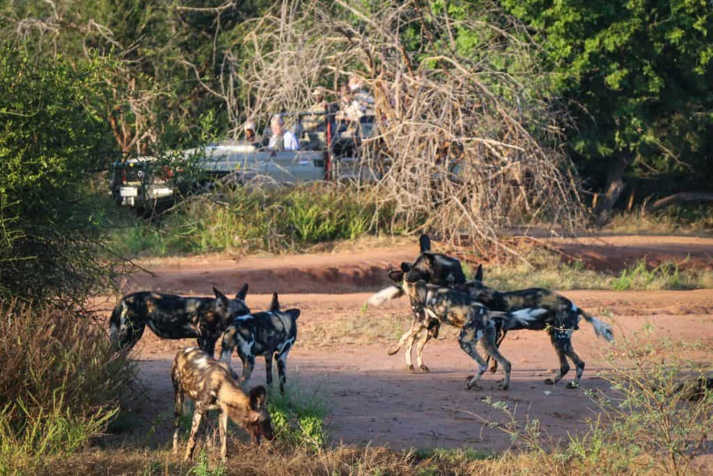 Wild dogs in Lower Zambezi