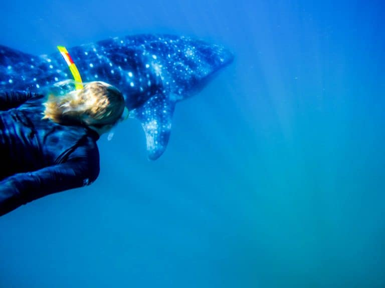 Whale Shark Diving in Mozambique