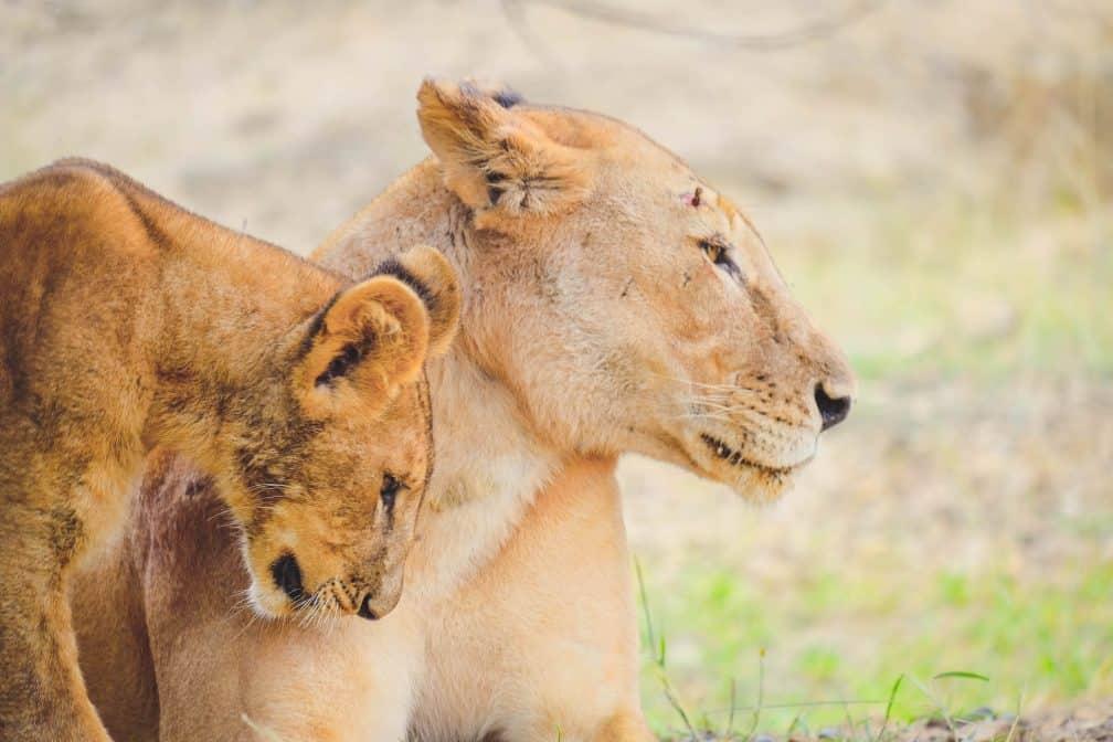 Lion Cubs in Tanzania