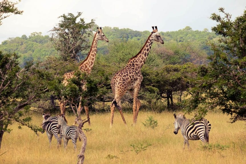 Giraffes in Selous